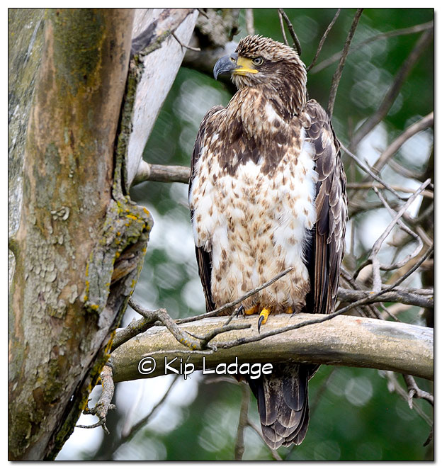 Juvenile Bald Eagle in Dead Tree - Image 522416 (© Kip Ladage)