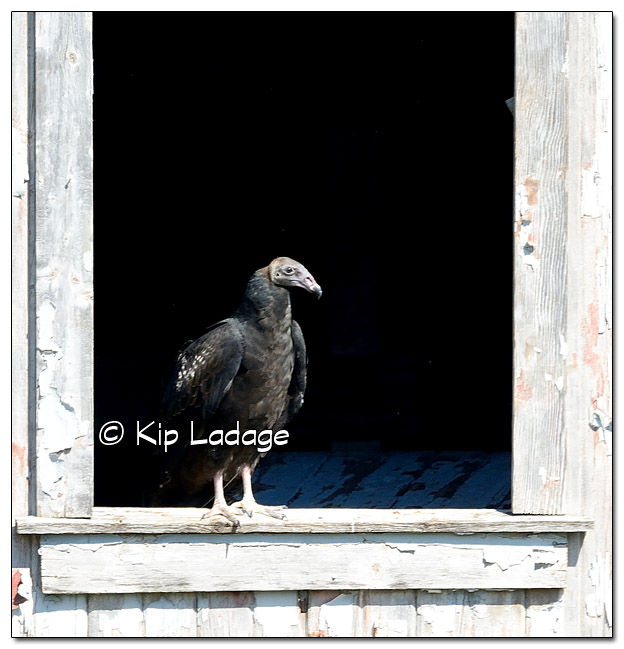 Juvenile Turkey Vulture in Barn Window Near Rowley Fen - Image 523097 (© Kip Ladage)