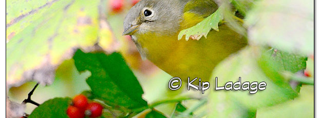 Nashville Warbler at Casey Lake at Hickory Hills Park - Image 525413 (© Kip Ladage)
