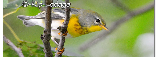 Northern Parula Warbler at Casey Lake - Image 522276 (© Kip Ladage)