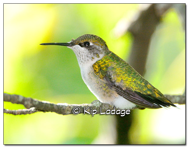 Ruby-throated Hummingbird - Image 523541 (© Kip Ladage)