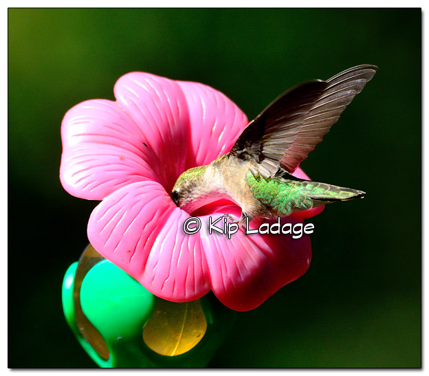 Ruby-throated Hummingbird - Image 523574 (© Kip Ladage)