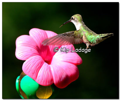 Ruby-throated Hummingbird - Image 523584 (© Kip Ladage)