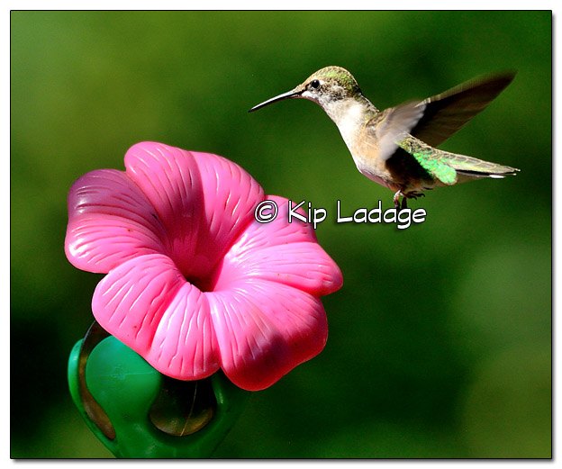 Ruby-throated Hummingbird - Image 523627 (© Kip Ladage)