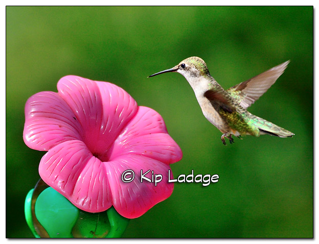 Ruby-throated Hummingbird - Image 523629 (© Kip Ladage)