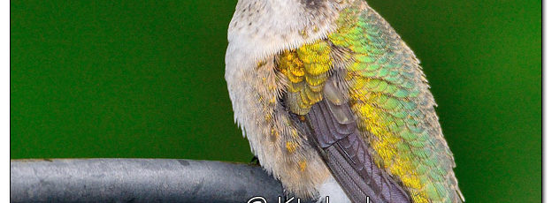Ruby-throated Hummingbird - Image 524788 (© Kip Ladage)