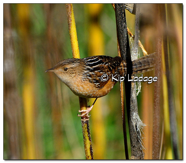 Sedge Wren at Blackmun Prairie - Image 524297 (© Kip Ladage)