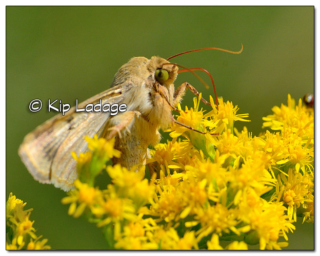 Skipper Butterfly on Goldenrod - Image 521967 (© Kip Ladage)