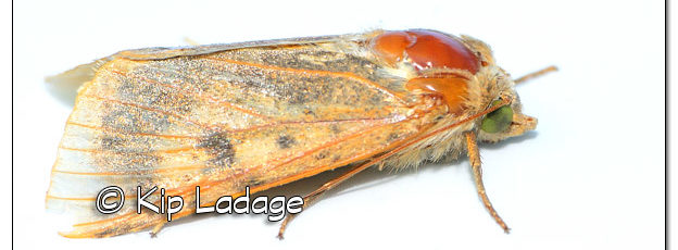 Tan Moth with Hard Plates - Image 524220 (© Kip Ladage)