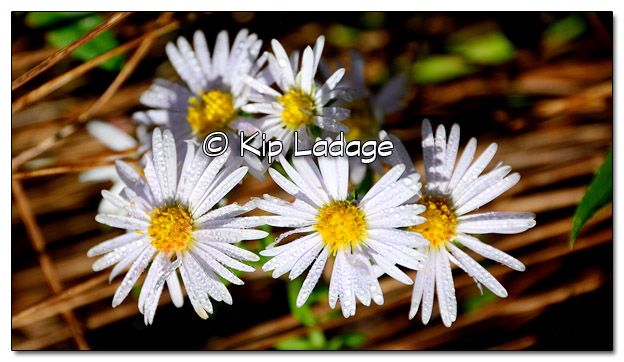 Asters at the Rowley Fen - Image 523344 (© Kip Ladage)