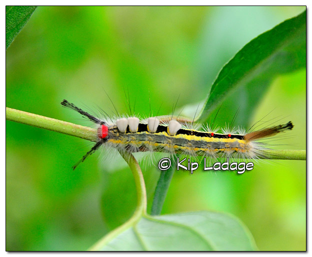 White-marked Tussock Moth Caterpillar - Image 522330 (© Kip Ladage)