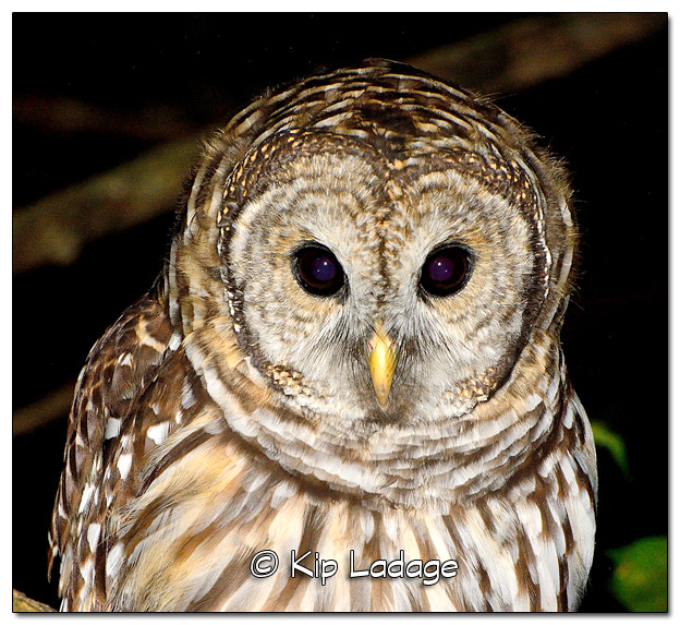 Young Barred Owl in Tree at Night - Image 523509 (© Kip Ladage)