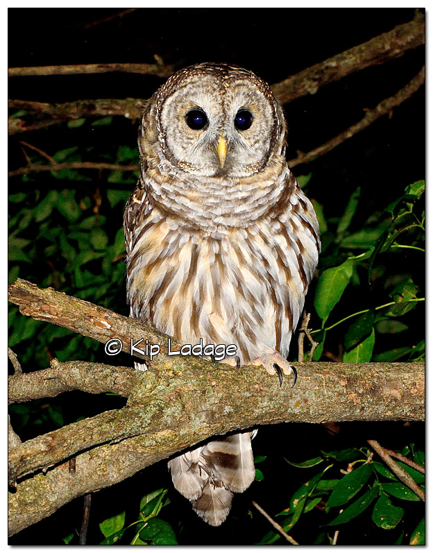 Young Barred Owl in Tree at Night - Image 523518 (© Kip Ladage)