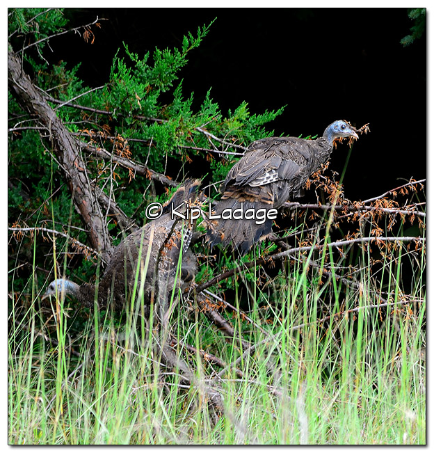 Young Wild Turkeys on Downed Tree - Image 522290 (© Kip Ladage)