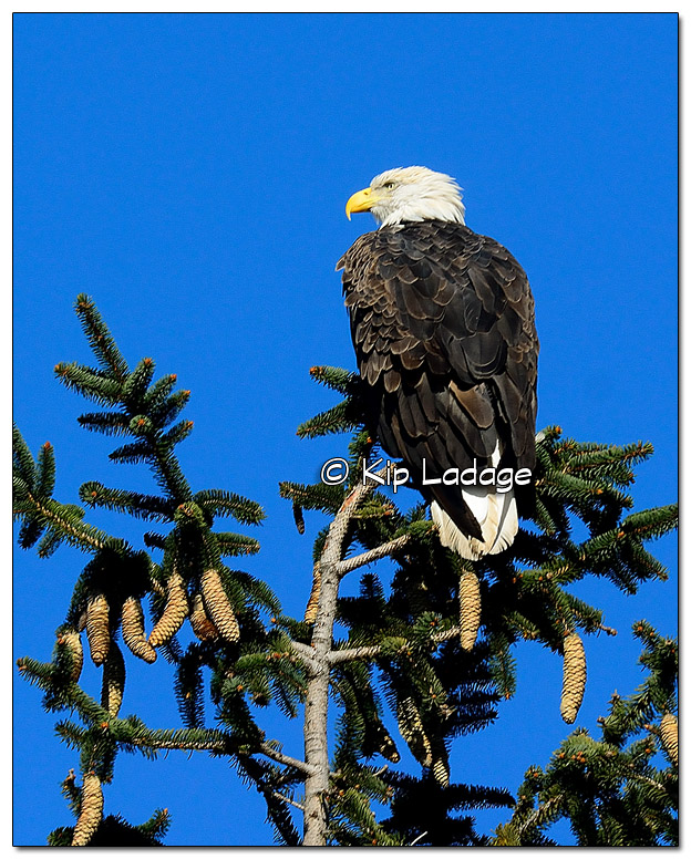 Adult Bald Eagle in Tree - Image 529292 (© Kip Ladage)