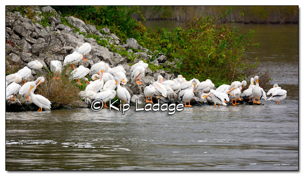 American White Pelicans at Lake Red Rock - Image 526001 (© Kip Ladage)