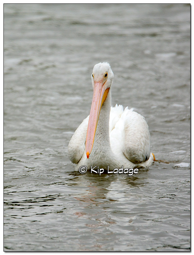 American White Pelican at Lake Red Rock - Image 526049 (© Kip Ladage)