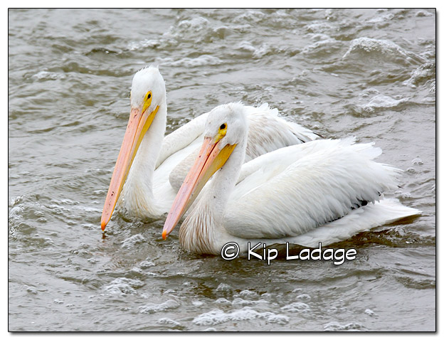 American White Pelicans at Lake Red Rock - Image 526065 (© Kip Ladage)