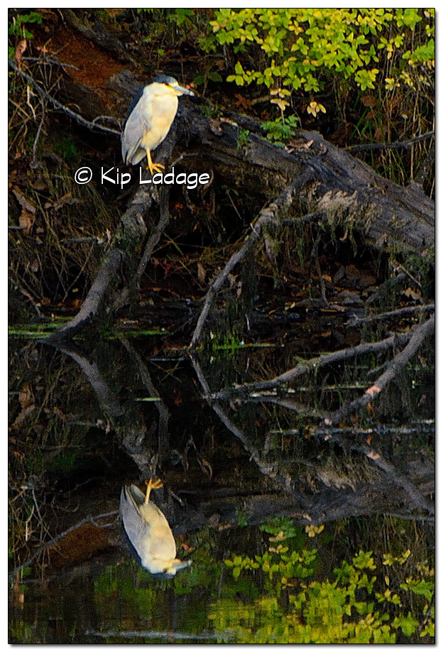 Black-crowned Night Heron - Image 518283 (© Kip Ladage)