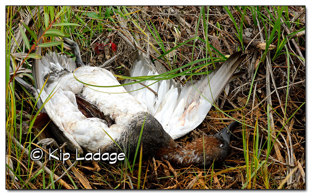 Dead Canvasback Duck - Image 529499 (© Kip Ladage)