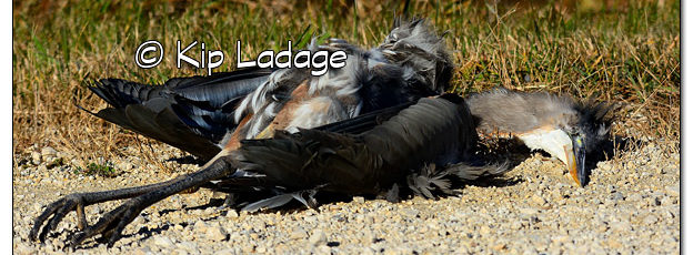 Dead Great Blue Heron - Image 528876 (© Kip Ladage)