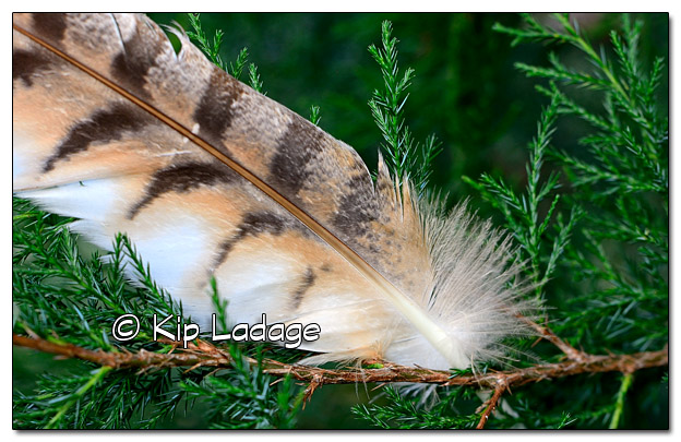Feather in Cedar Tree - Image 526611 (© Kip Ladage)