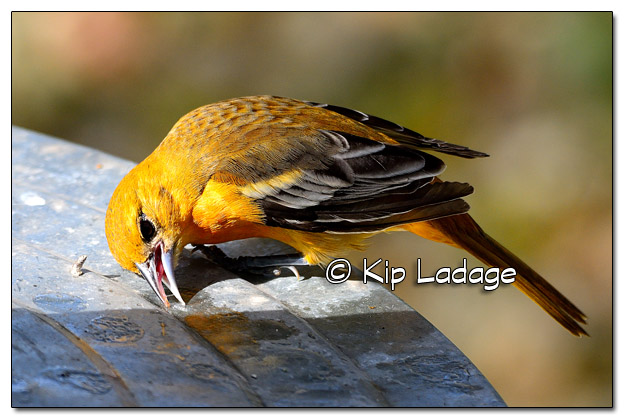 Female Baltimore Oriole Cleaning Sugar Drops - Image 529359 (© Kip Ladage)