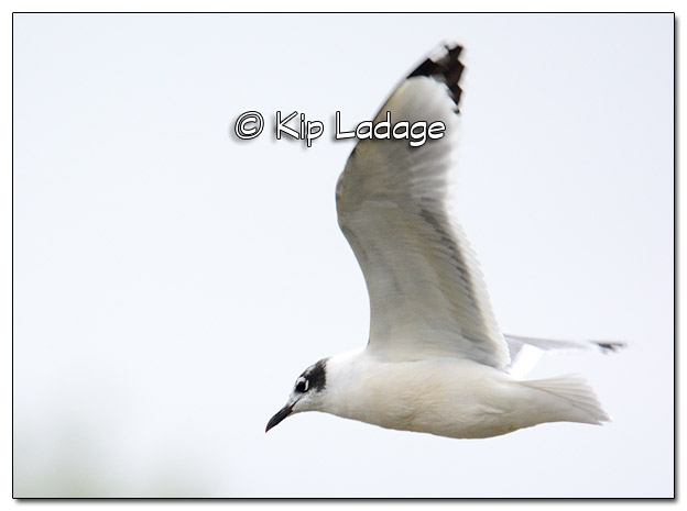 Franklin's Gull at Lake Red Rock - Image 526109 (© Kip Ladage)
