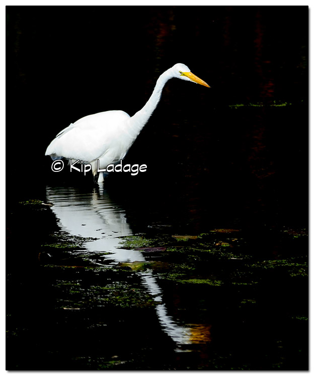 Great Egret at Sweet Marsh - Image 528452 (© Kip Ladage)