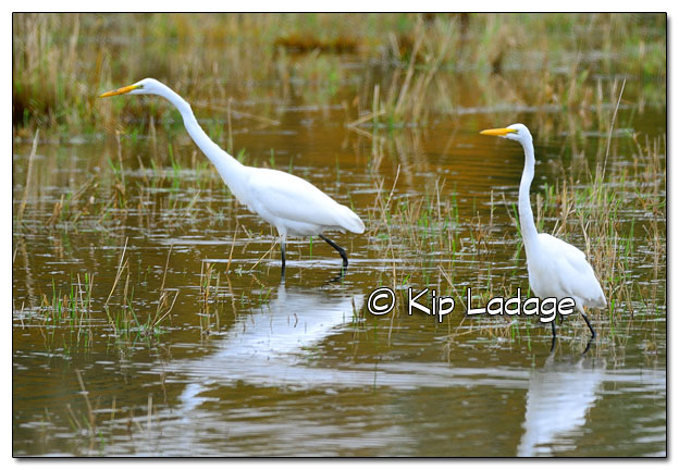 Great Egrets in Sheet Water - Image 526498 (© Kip Ladage)