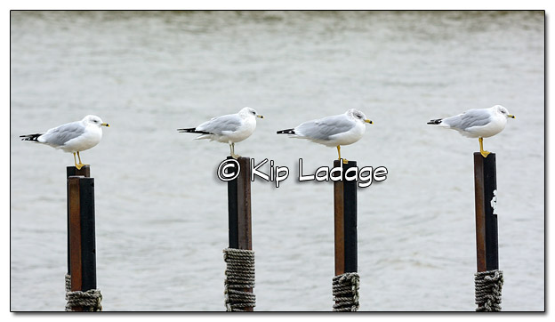 Ring-billed Gulls on Dock at Lake Red Rock - Image 526188 (© Kip Ladage)