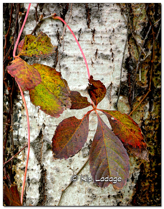 Virginia Creeper on Birch Tree - Image 526371 (© Kip Ladage)