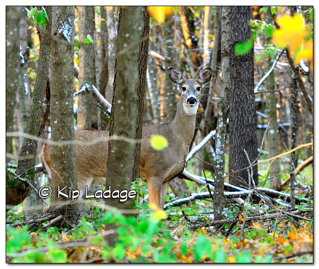 Whitetail Deer in Autumn Timber - Image 528102 (© Kip Ladage)