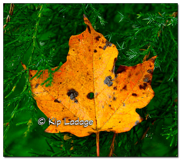 Yellow Leaf in Cedar Tree - Image 526446 (© Kip Ladage)