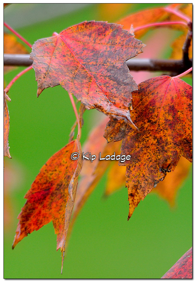 Autumn Leaves - Image 532697 (© Kip Ladage)