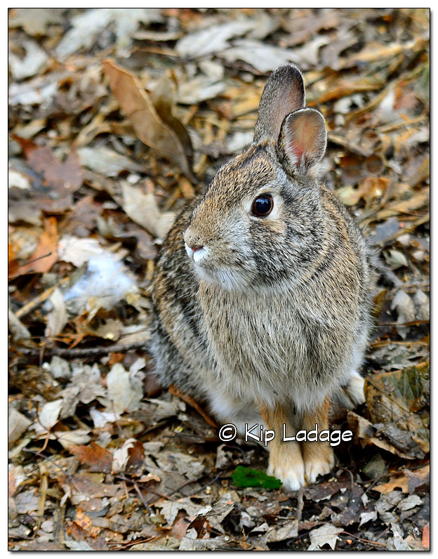 Cottontail Rabbit - Image 535576 (© Kip Ladage)