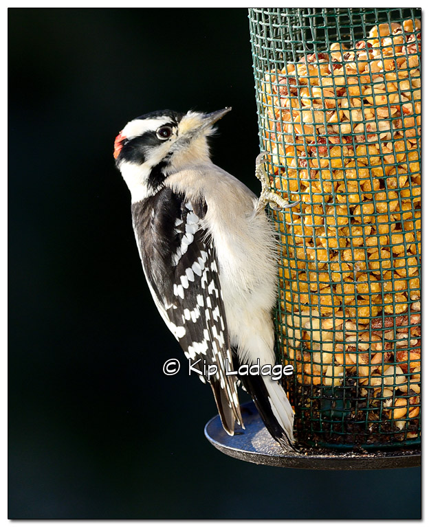 Downy Woodpecker - Image 533806 (© Kip Ladage)