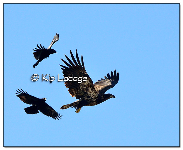 Crows Harassing a Juvenile Bald Eagle at Hickory Hills Park - Image 533903 (© Kip Ladage)