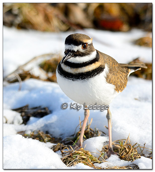 Killdeer in Snow at George Wyth State Park - Image 535094 (© Kip Ladage)