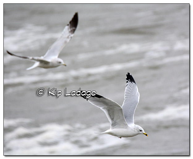 Ring-billed Gulls in Flight - Image 533132 (© Kip Ladage)