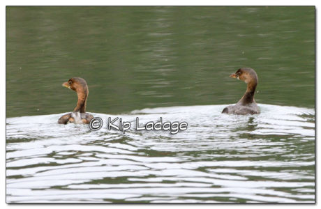 Two Pied-billed Grebes - Image 532844 (© Kip Ladage)