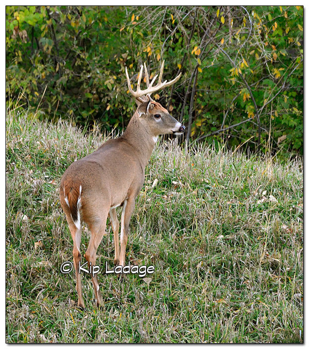Whitetail Deer (Buck) at Saylorville - Image 532586 (© Kip Ladage)