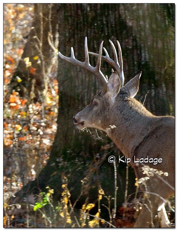 Iowa Whitetail Deer in Timber (close view of antlers) - Image 533763 (© Kip Ladage)