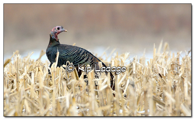 Wild Turkey in Corn Stubble - Image 534895 (© Kip Ladage)
