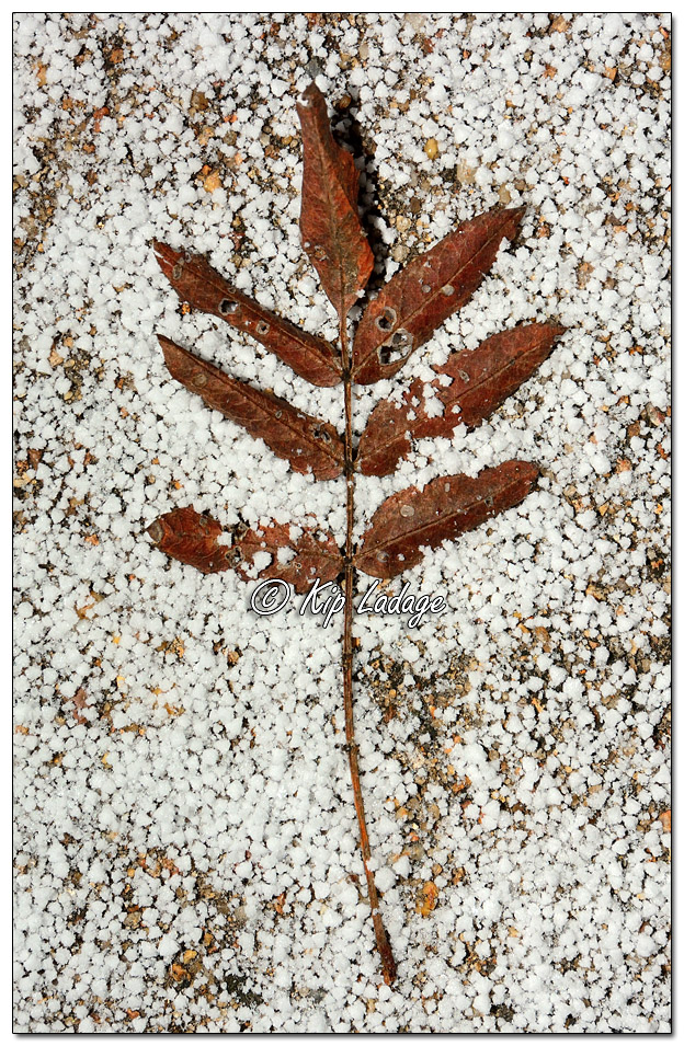 European Mountain Ash Leaves in Sleet - Image 537345 - (© Kip Ladage)