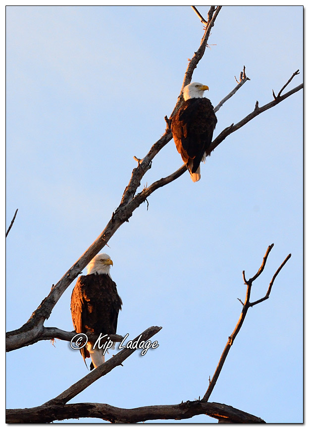 Adult Bald Eagles in Tree - Image 537351 - (© Kip Ladage)