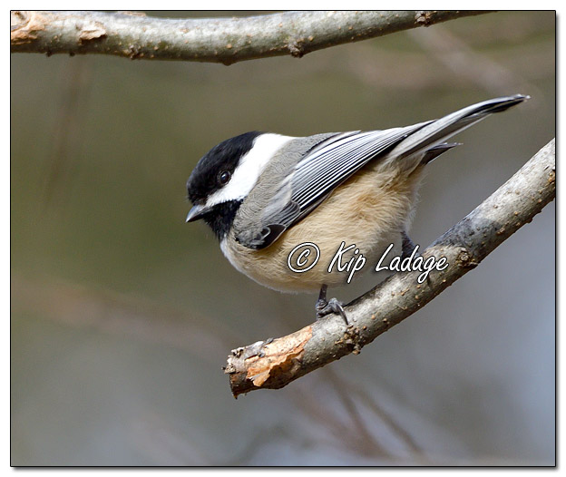 Black-capped Chickadee on Branch - Image 537399 - (© Kip Ladage)