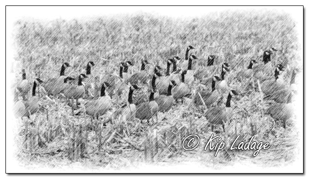 Canada Geese in Corn Stubble in Rain - Pencil - Image 537243 - (© Kip Ladage)