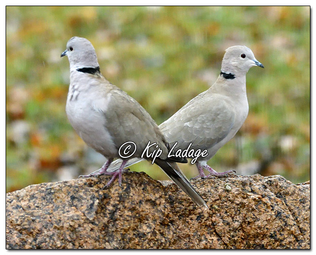 Eurasian-collared Doves in Rain - Image 540050 (© Kip Ladage)
