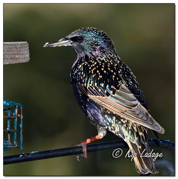 European Starling in Winter Plumage at Suet Feeder - Image 539215 (© Kip Ladage)